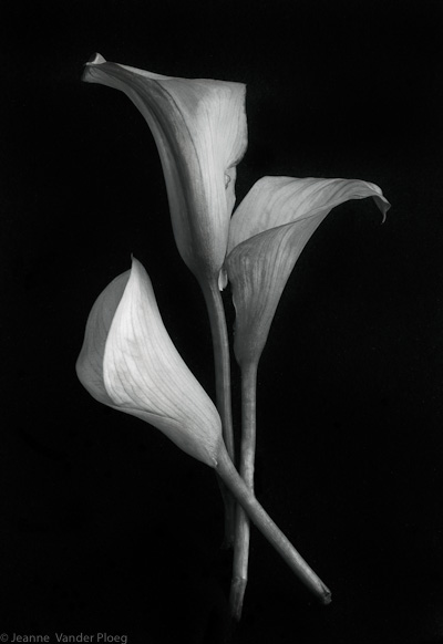 Cala Lilies In Repose
